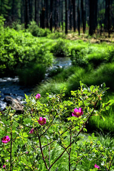 Northern Arizona Wall Art - Photograph - Wild Roses Riverside  by Saija Lehtonen