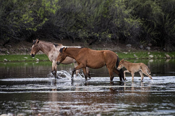 Photograph - Wild Salt River Horses River Walk by Dave Dilli