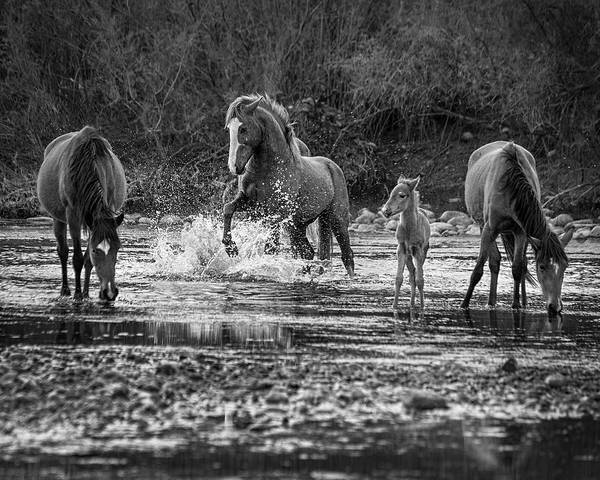 Wall Art - Photograph - Wild Salt River Stallion Black And White by Dave Dilli