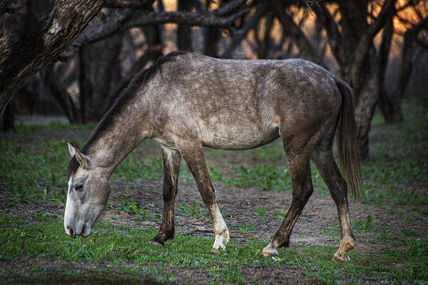 Photograph - Wild Salt River White Horse Grazes by Dave Dilli