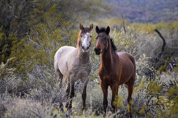 Photograph - Wild Salt River White Horses White And Brown by Dave Dilli