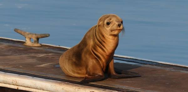 Photograph - Wild Sea Lion Pup by Christy Pooschke