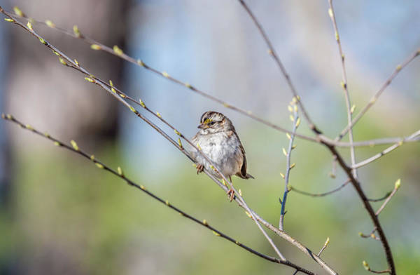 Photograph - Wild Sparrow In A Tree During Spring With Budding Branches by Patrick Wolf