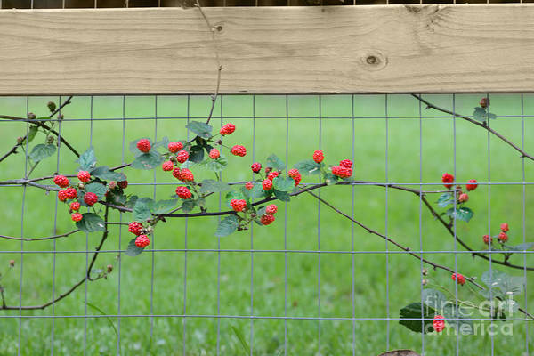 Photograph - Wild Spring Berries by James Hennis