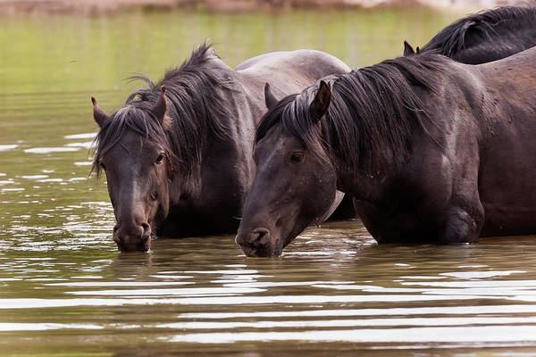 Wild Stallions At The Water Hole Art Print