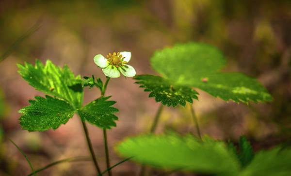 Photograph - Wild Strawberry #g4 by Leif Sohlman