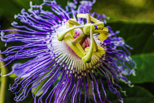 Photograph - Wild Summer - Passion Flower by Barry Jones
