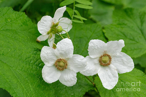Photograph - Wild Thimbleberry by Charles Kozierok