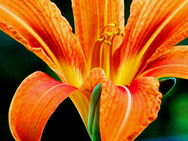 Photograph - Wild Tiger Lily by Steven Huszar