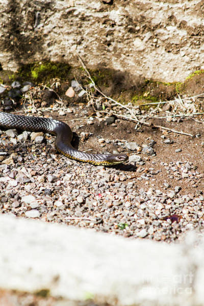 Fauna Photograph - Wild Tiger Snake by Jorgo Photography - Wall Art Gallery