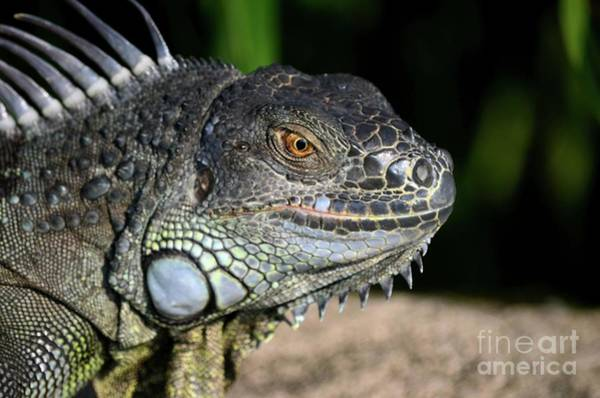 Photograph - Wild Tropical Iguana With Scales And Spikes On Body Singapore by Imran Ahmed