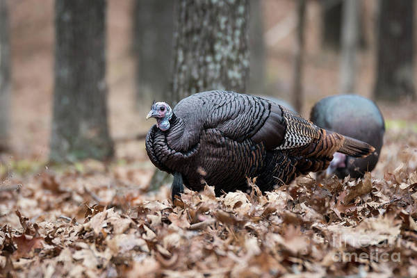 Photograph - Wild Turkey by Andrea Silies