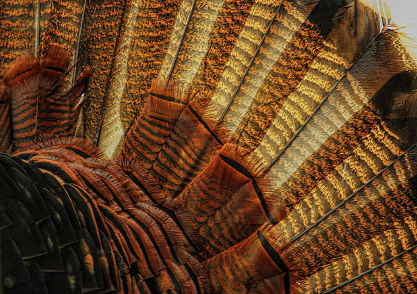 Photograph - Wild Turkey Fan Abstract  by Dale Kauzlaric