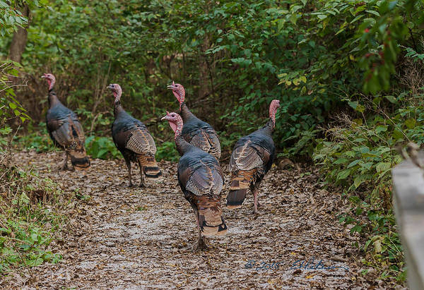 Photograph - Wild Turkey Flock by Edward Peterson