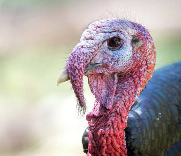 Photograph - Wild Turkey Portrait by Judi Dressler