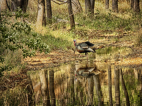 Photograph - Wild Turkey Reflection by Charles McKelroy