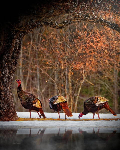 Photograph - Wild Turkey Winter by Bob Orsillo