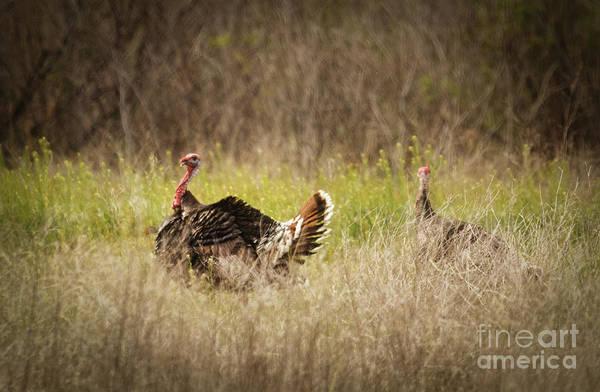 Meleagris Gallopavo Photograph - Wild Turkeys by Robert Bales