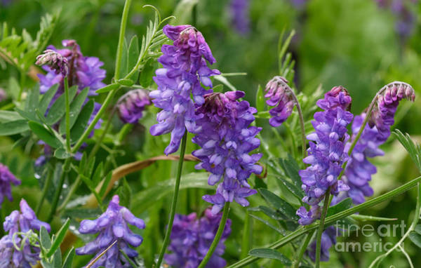 Photograph - Wild Vetch by Charles Kozierok