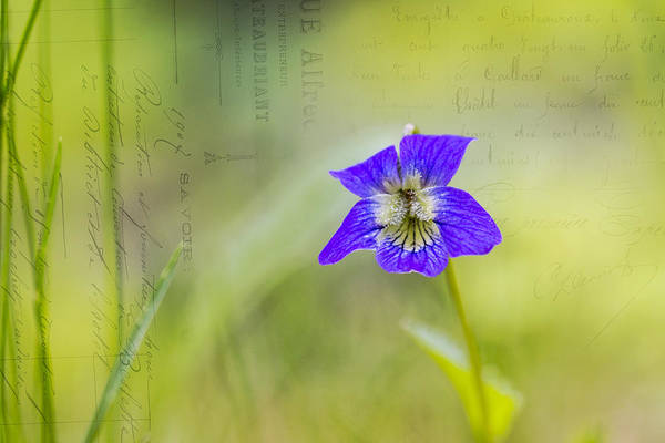 Wall Art - Photograph - Wild Violets by Michel Emery