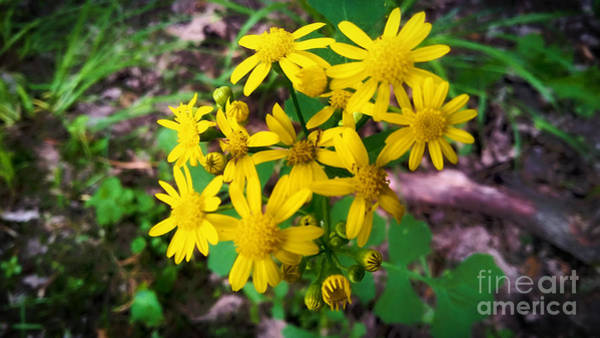 Photograph - Wild Yellow Flower by Robert Knight