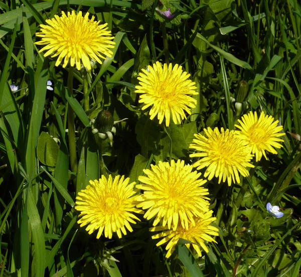 Photograph - Wild Yellow Flowers by Laura Greco