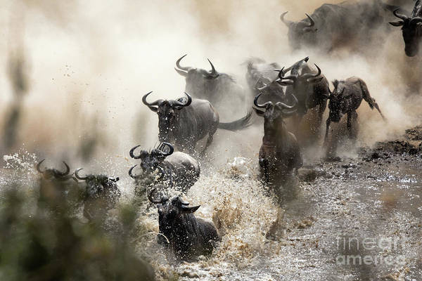 Wall Art - Photograph - Wildebeest Herd Crossing The Mara River by Jane Rix