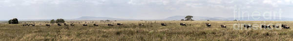 Photograph - Wildebeest In Serengueti During The Great Migration - Large Panorama by RicardMN Photography