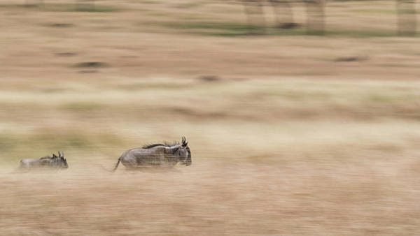 Wall Art - Photograph - Wildebeest Running Through Grasslands - Panning Blur by Susan Schmitz