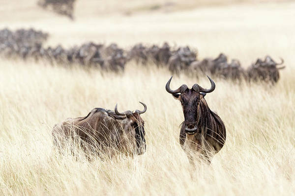 Wall Art - Photograph - Wildebeest In Tall Grass Field In Kenya by Susan Schmitz