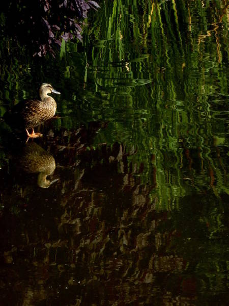 Photograph - Wilderness Duck by Perggals - Stacey Turner