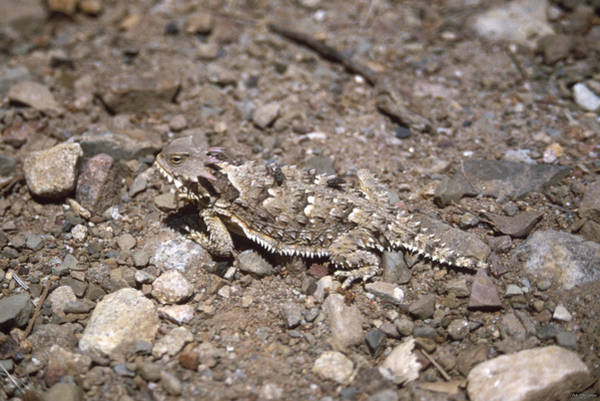 San Rafael Wilderness Photograph - Wilderness Transit - Horned Lizard by Soli Deo Gloria Wilderness And Wildlife Photography