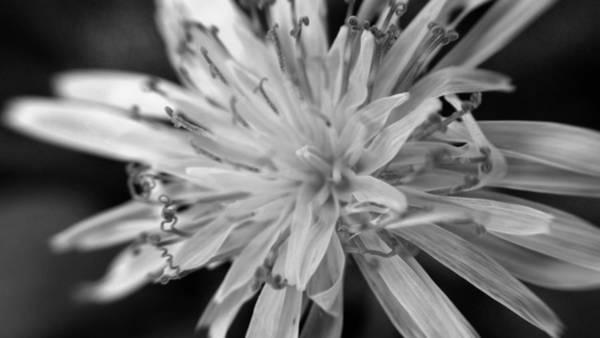 Digital Art - Wildflower 5 Black N White by Belinda Cox