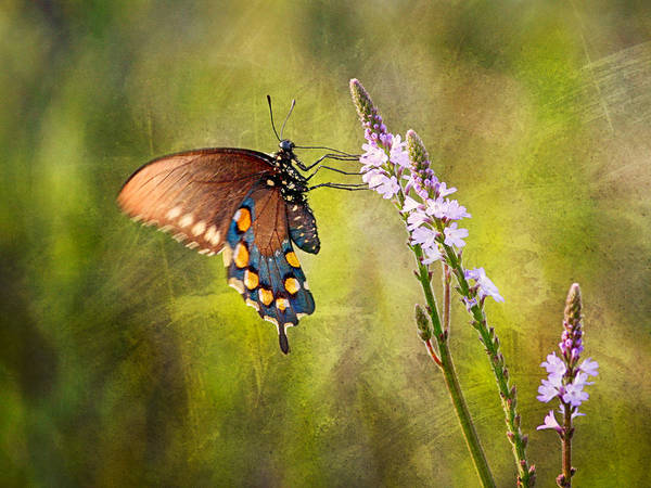 Photograph - Wildflower And Butterfly by Charles McKelroy
