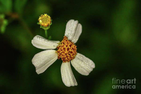 Photograph - Wildflower Bloom And Bud by Tom Claud