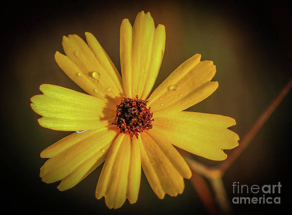 Photograph - Wildflower, Dew And Sun by Tom Claud
