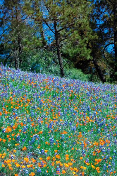 Figueroa Mountain Photograph - Wildflower Meadow - Figueroa Mountains California by Ram Vasudev