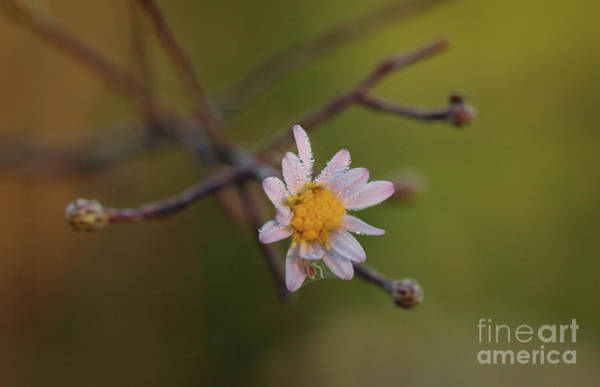 Photograph - wildflower with Dew and Spider by Tom Claud