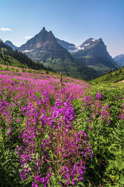 Fireweed Photograph - Wildflowers And A Glacier by Peter Tellone