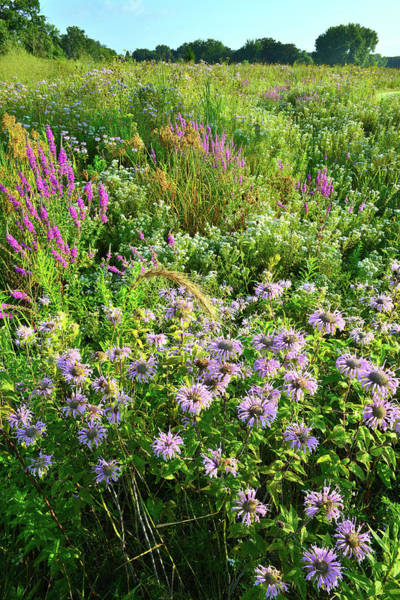 Photograph - Wildflowers At Lake County Forest Preserve by Ray Mathis