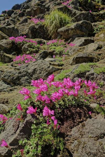 Photograph - Wildflowers At Mount Rainier National Park by Dan Sproul