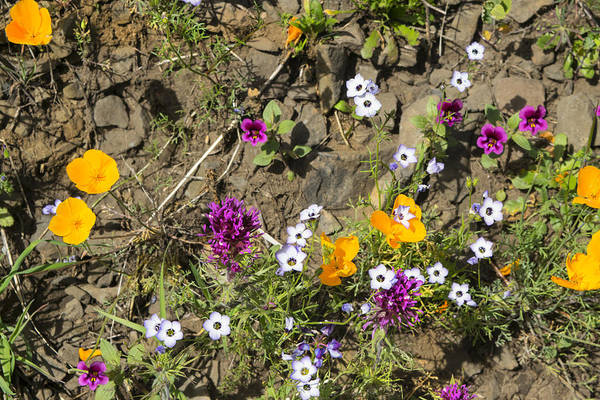 Photograph - Wildflowers At Table Mountain by Frank Wilson