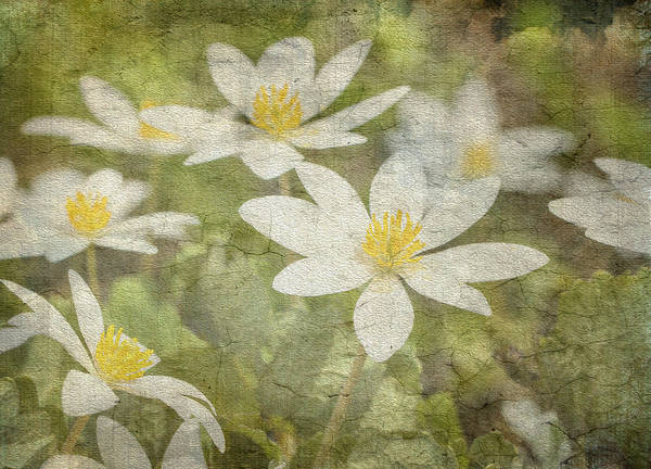 Photograph - Wildflowers - Bloodroot by Betty  Pauwels