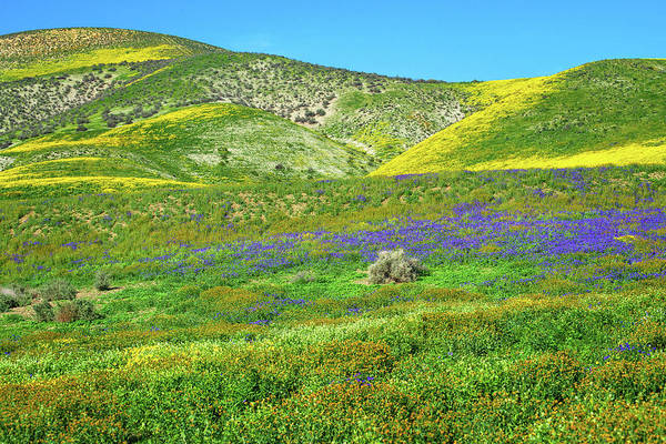 Photograph - Wildflowers Carpet The Temblors by Lynn Bauer