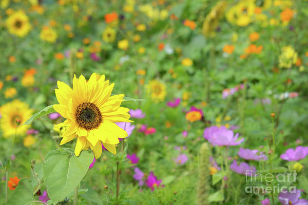 Sunflower Field Photograph - Wildflowers by Delphimages Photo Creations