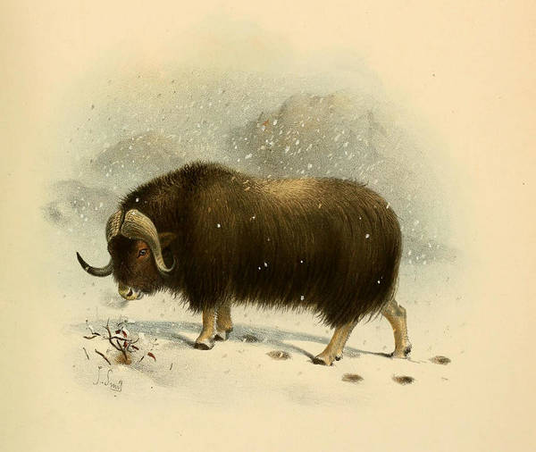 Yak Painting - Wildoxensheepgo by MotionAge Designs