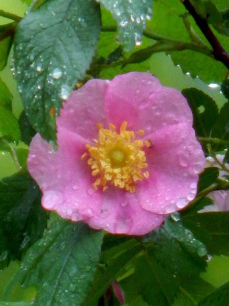 Photograph - Wild's Pink Rose by Wild Thing