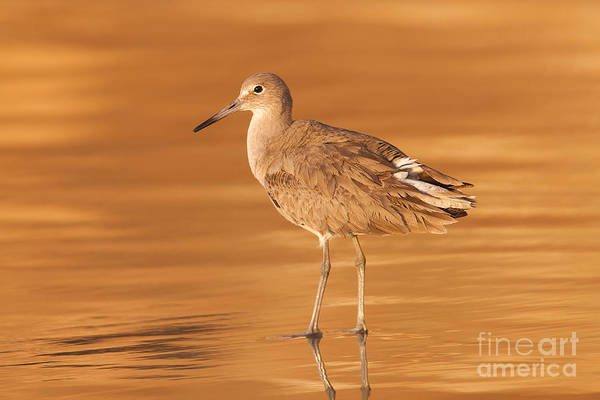 Photograph - Willet by Clarence Holmes
