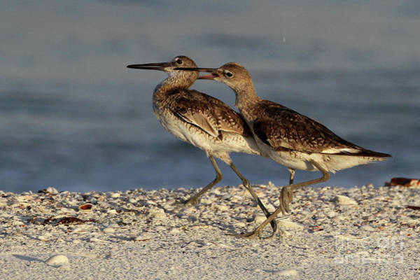 Photograph - Willet Fight by Meg Rousher