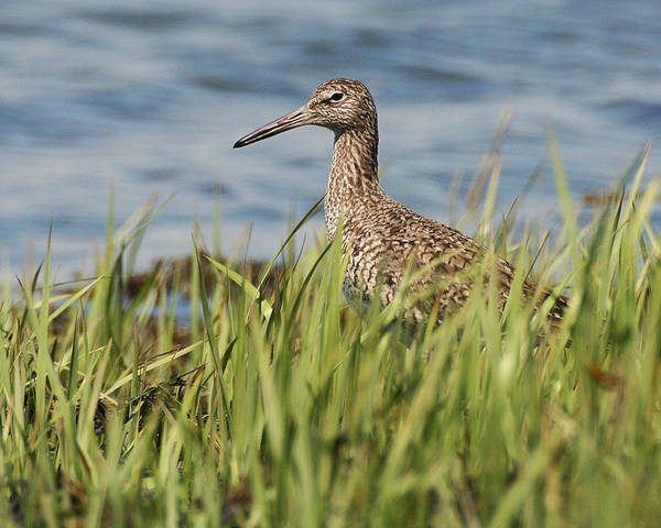 Photograph - Willet In The Grass by William Selander
